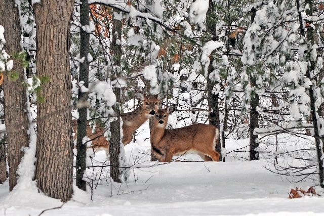 White Tailed Deer.jpg
